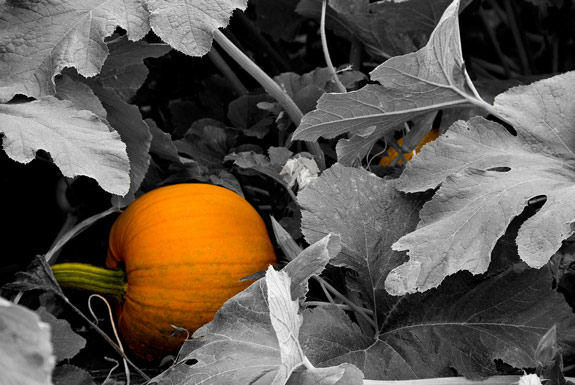 Peekaboo Pumpkin patch tmb Learn The Basics of Color Focus Editing in Photoshop CS5